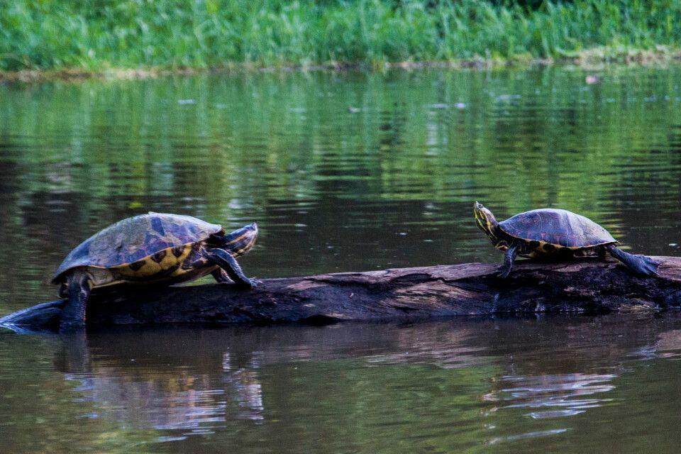Zwei Schildkröten, die sich auf einem Baumstamm präsentieren