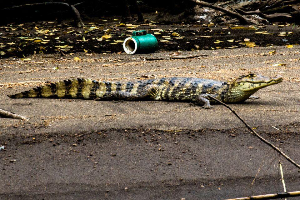 Ein Krokodil beobachtet die vorbeifahrenden Schiffe