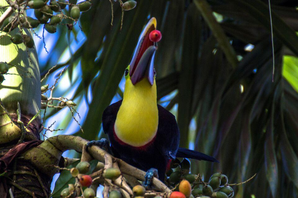 Ein Tukan beim Essen