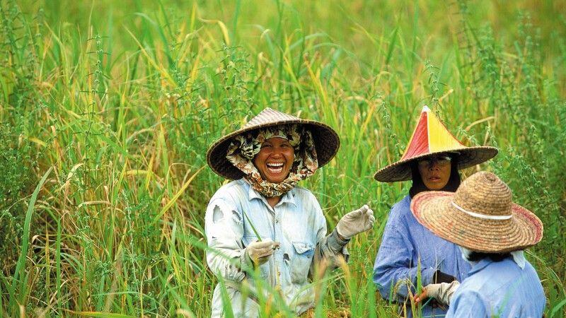 Reisernte in Sarawak, Borneo © Diamir