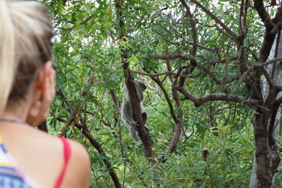 Koalas selbst in freier Natur aufspüren und beobachten! Deswegen allein lohnt ein Besuch auf Magnetic Island bereits…