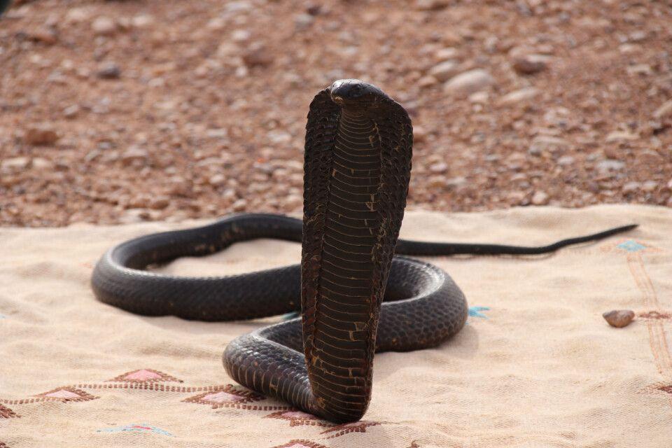 Eine junge marrokansiche schwarze Kobra