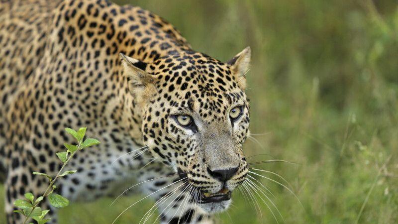 Leopard im Yala-Nationalpark © Diamir