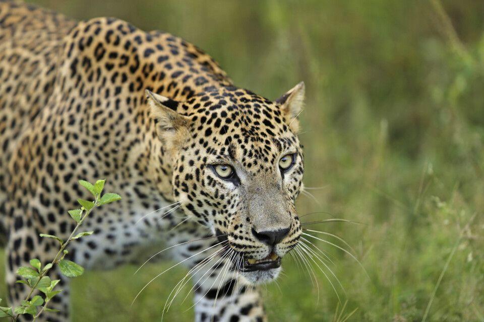 Leopard im Yala-Nationalpark