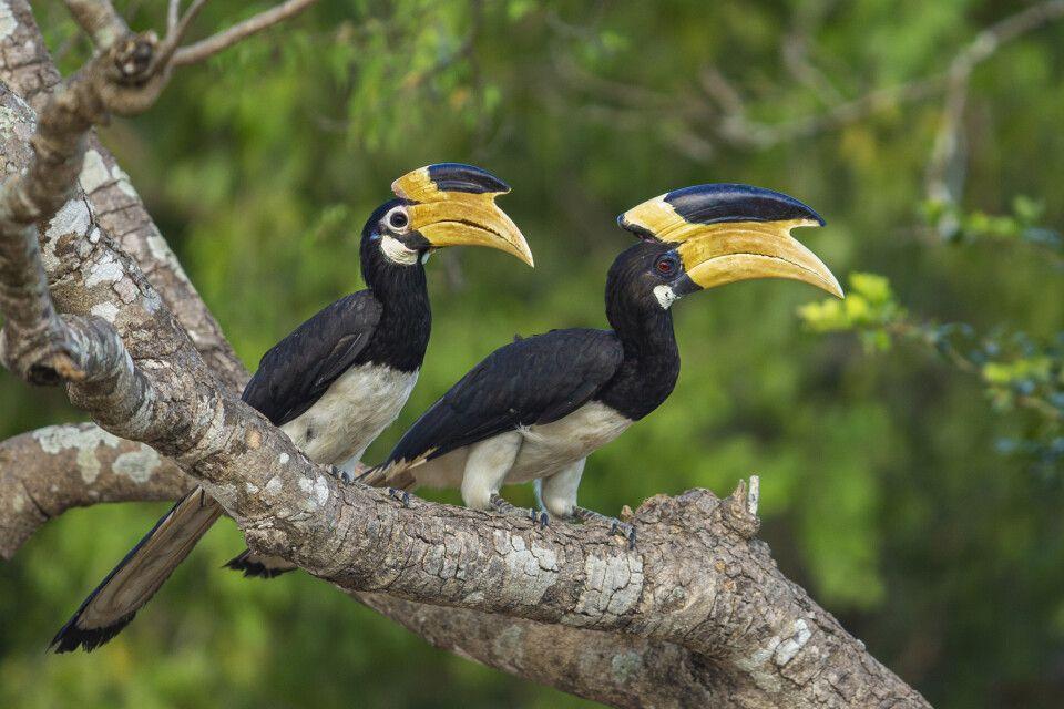 Hornvögel