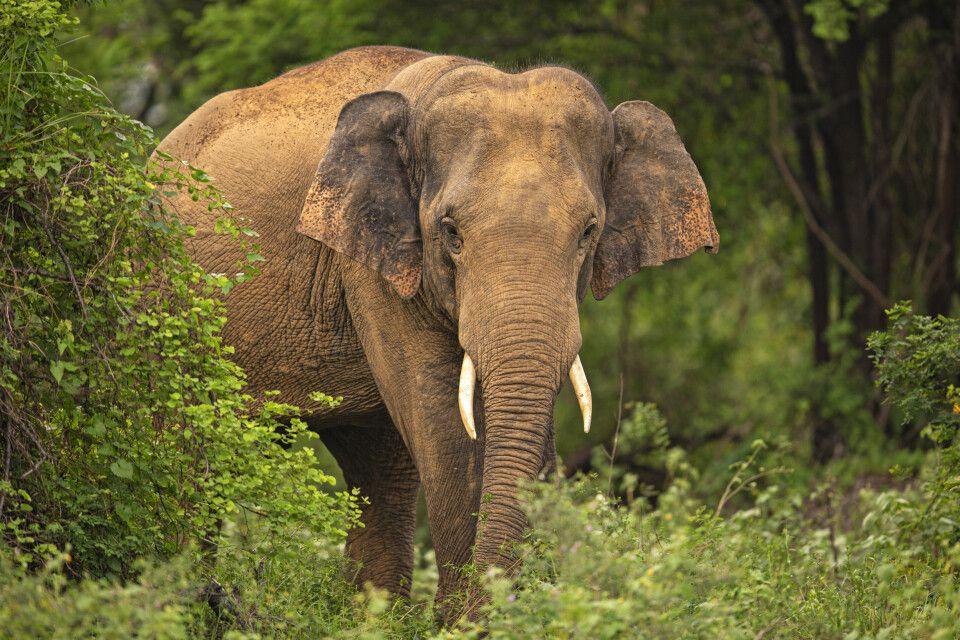 Wilder Elefant