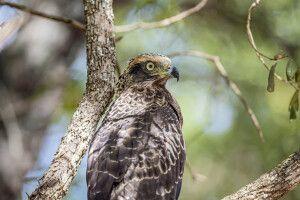 Adler im Wilpattu-Nationalpark