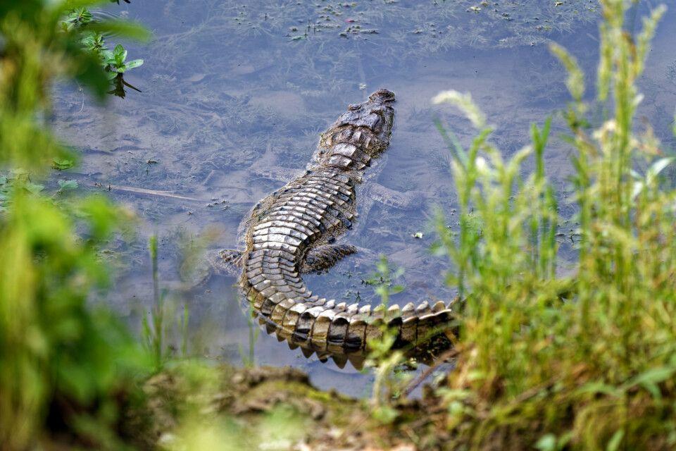Krokodil im Chitwan-Nationalpark