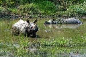Panzernashörner beim Baden im Chitwan-Nationalpark