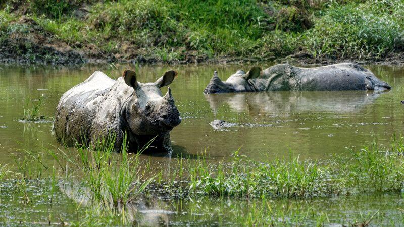 Panzernashörner beim Baden im Chitwan-Nationalpark © Diamir