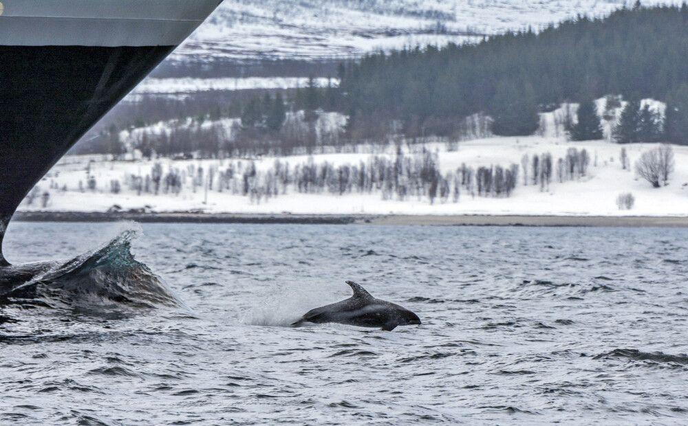 Weißschnauzendelphin in Aktion