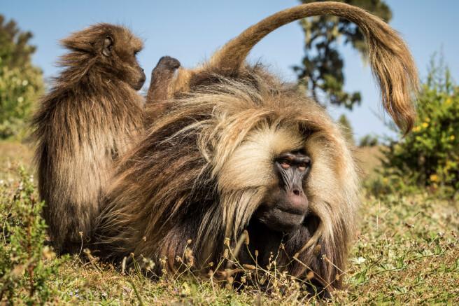 im Simien-Gebirge bei den endemischen Blutbrust-Pavianen (Dscheladas)