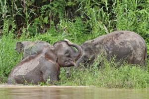 Elefanten am Kinabatangan