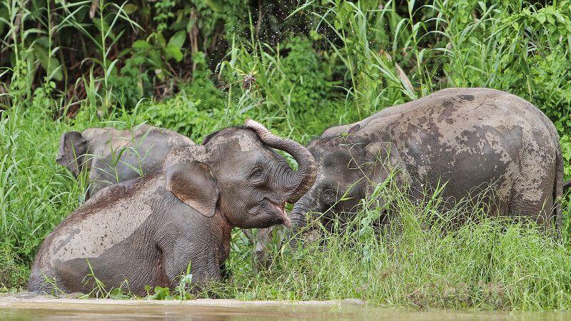 Elefanten am Kinabatangan © Diamir