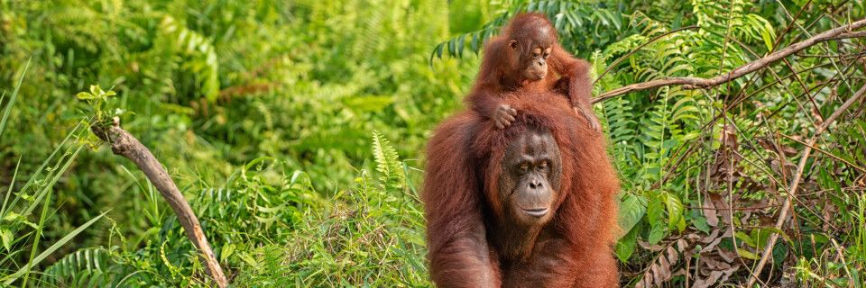 Orang Utan im Regenwald von Borneo