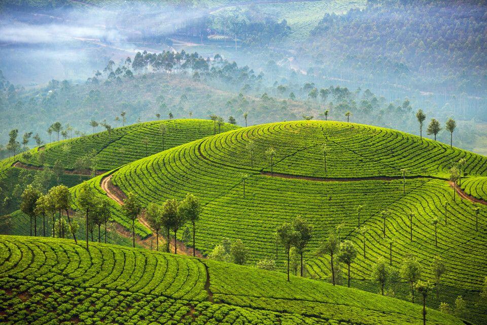 Teeplantagen bei Munnar, Kerala