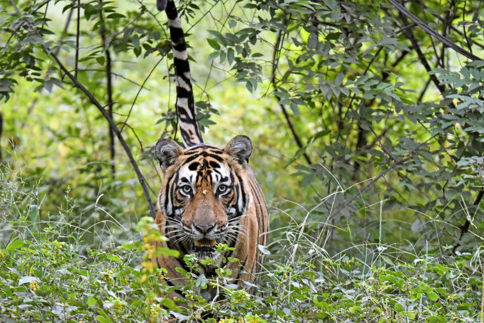 Tiger im Kanha-Nationalpark