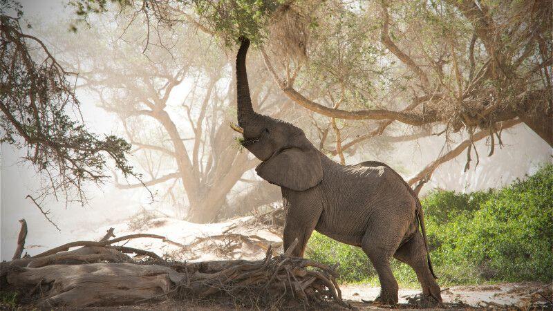 Wüstenelefant am trockenen Huab Fluss © Diamir