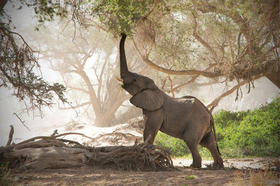 Wüstenelefant am trockenen Huab Fluss