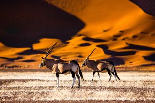 Oryx Antilopen im Sossusvlei