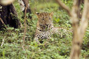 Leopard im Wilpattu-Nationalpark