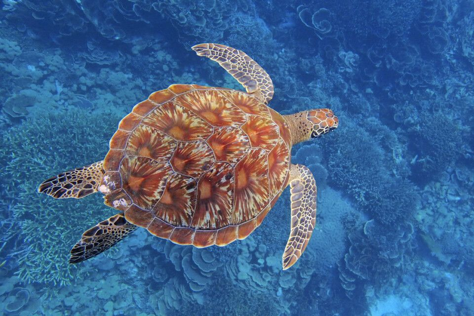 Meeresschildkröte in Raja Ampat