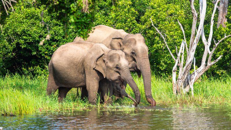 Asiatischer Elefant im Yala Nationalpark © Diamir