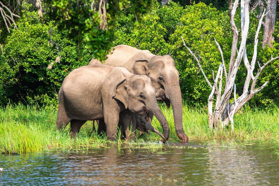 Asiatischer Elefant im Yala Nationalpark