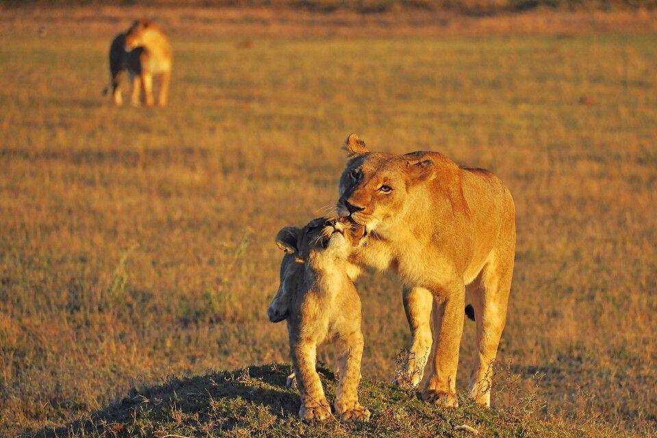 Löwenmutter und ihr Junges im Sonnenaufgang im Moremi-Wildreservat