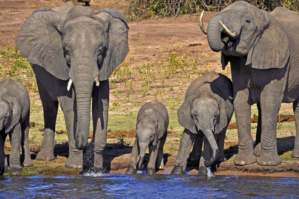 Elefanten stillen ihren Durst am Ufer des Chobe-Flusses