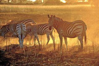 Zebras im Licht der untergehenden Sonne