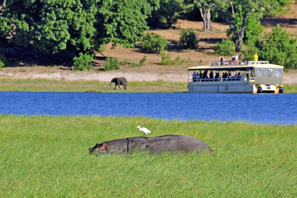 Flusspferdsichtung während einer Bootstour auf dem Chobe-Fluss