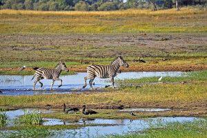 Zebras überqueren den Fluss im Chobe NP