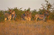 Abendstimmung bei der Zebrafamilie im Bushman Plains Camp, Okavango-Delta