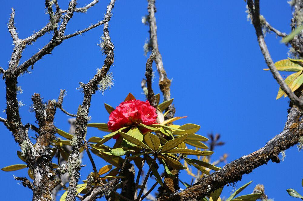Rhododendron am Mt. Victoria