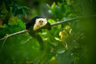 Weißköpfiger Kapuziner-Affe