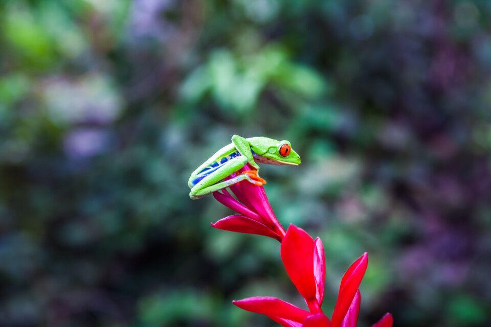 rotäugiger Frosch