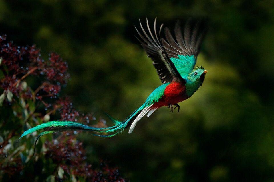 Quetzal, Savegre