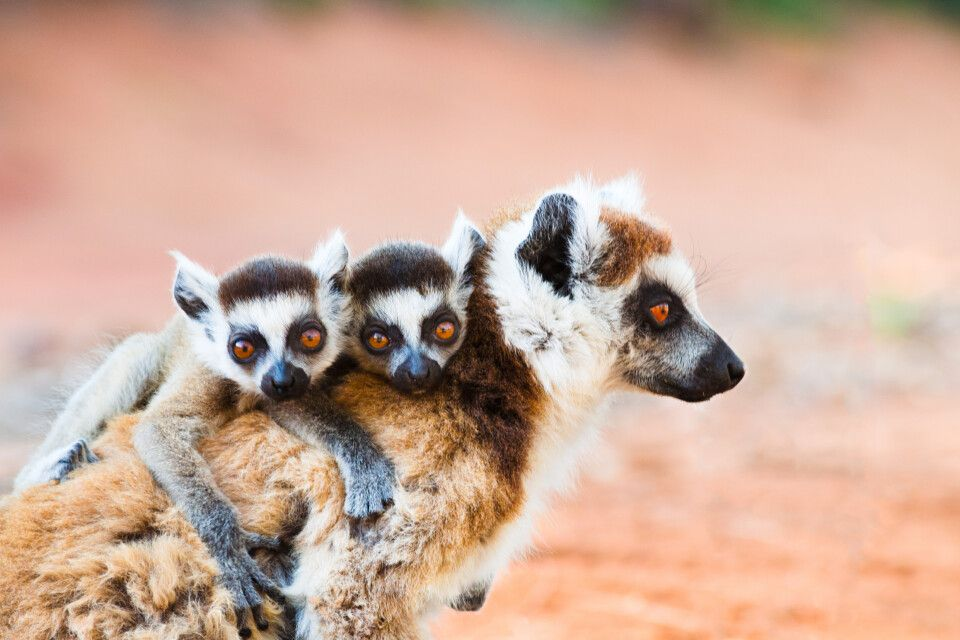 Lemuren im Berenty Nature Reserve