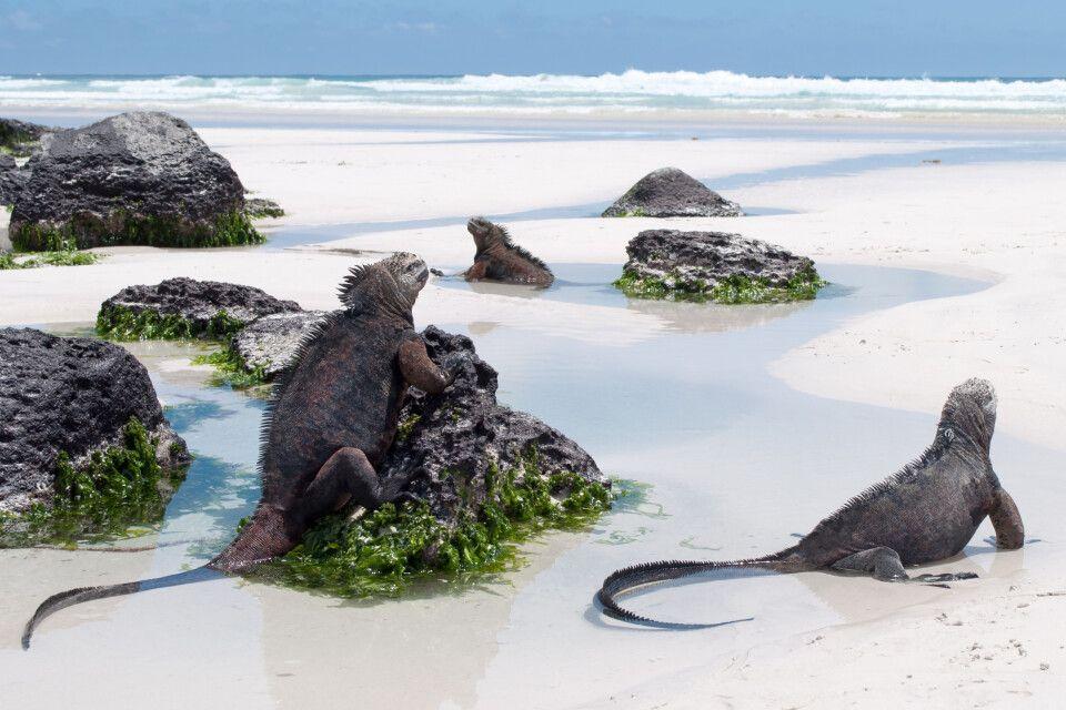 Galapagos-Meeresleguane am Strand, Tortuga-Bucht auf Santa Cruz Island im Galapagos-Nationalpark