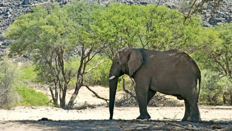 Wüstenelefant in Namibia © Diamir