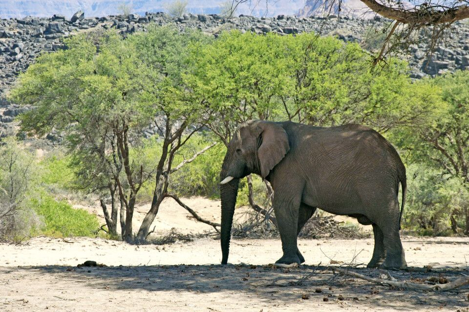 Wüstenelefant in Namibia