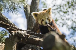 Roter Panda im Zoo