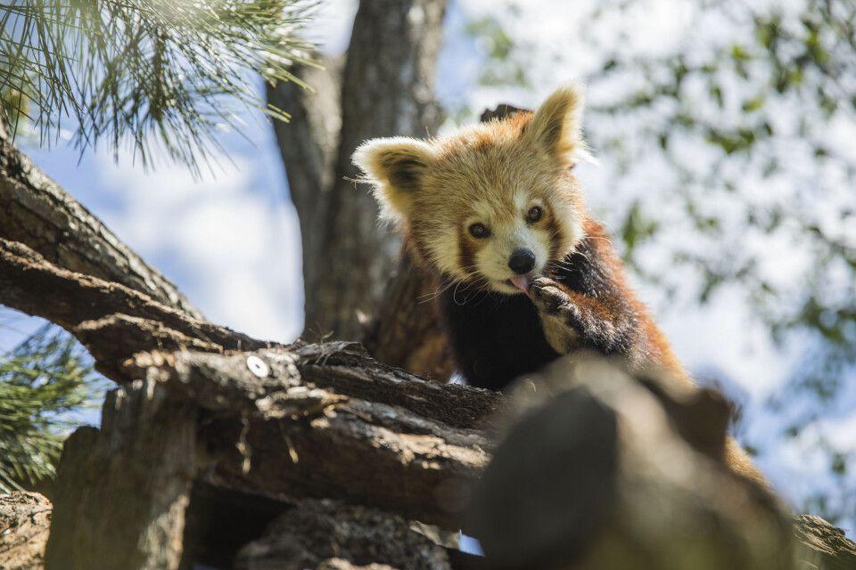 Roter Panda im Zoo Leipzig