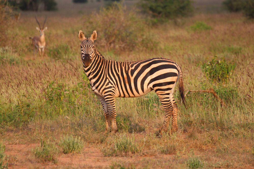 KEN_2019_1SLA_Zebra-13.jpg