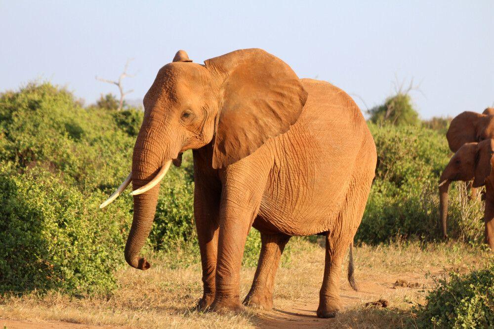 KEN_2019_1SLA_Elefant-im-Tsavo-4.jpg