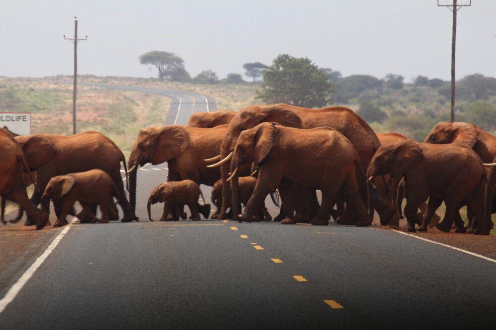 KEN_2019_1SLA_Elephants-crossing-8.jpg