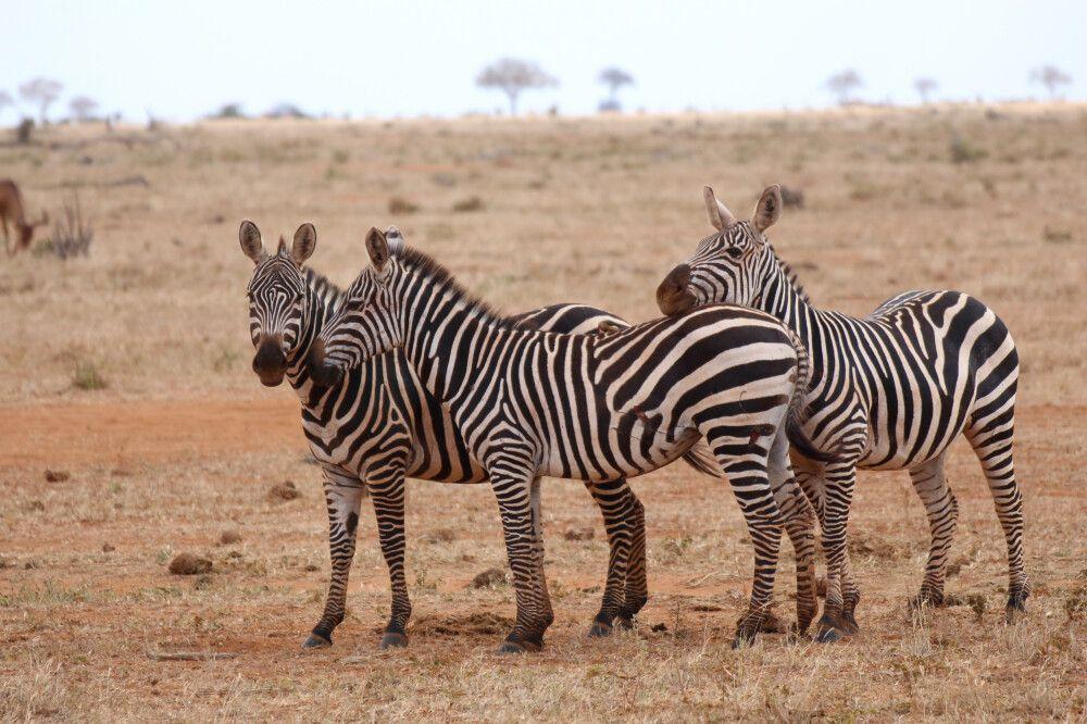 KEN_2019_1SLA_Zebras-im-Amboseli-19.jpg