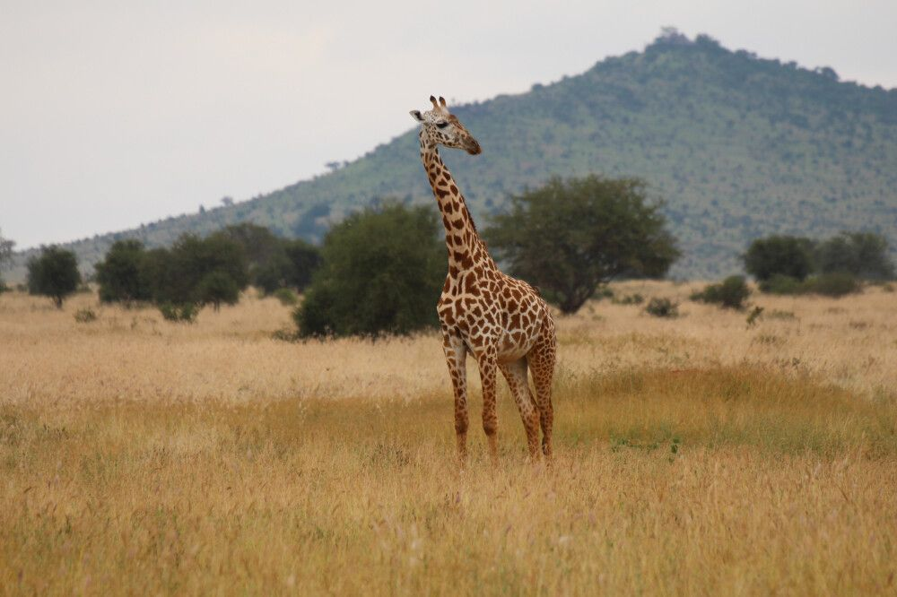 KEN_2019_1SLA_Giraffe-10.jpg