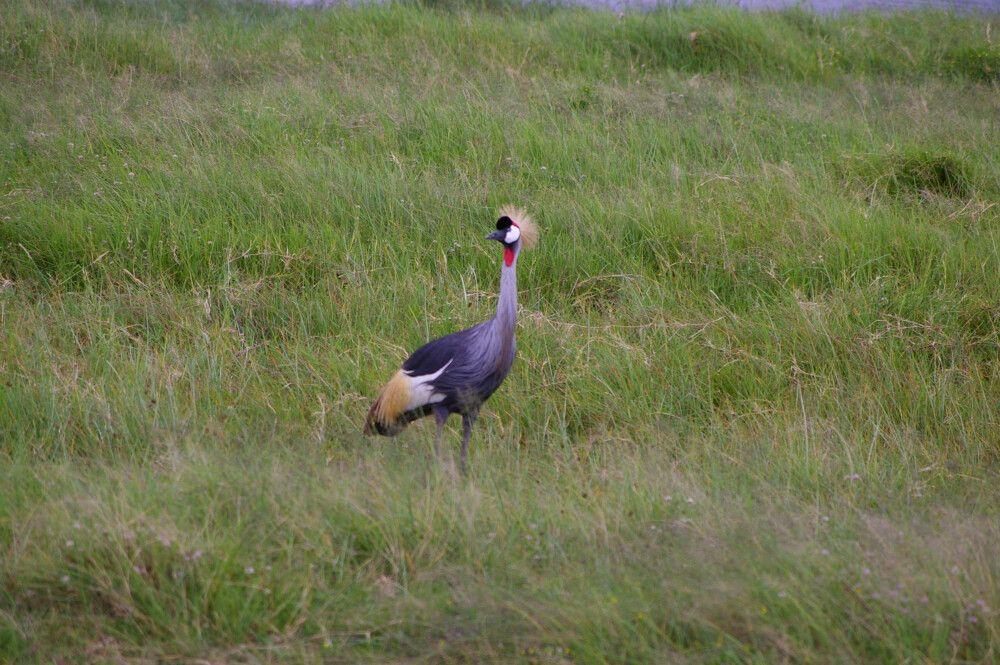 TANLTC_230519_1GVO_Kronenkranich-im-Ngorongoro-Krater.jpg